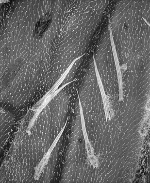 Mosquito (Aedes sp) SEM close-up of the hairy veins of a wing at 280x magnification  -  Albert Lleal