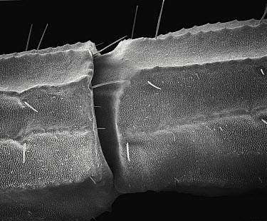 Common European Scorpion (Buthus occitanus) SEM close-up view of the articulation between two segments of the tail at 56x magnification  -  Albert Lleal