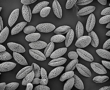 Trumpet Lily (Lilium longiflorum) SEM close-up view of pollen grains at 105x magnification  -  Albert Lleal