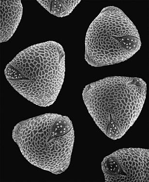 Common Nasturtium (Tropaeolum majus) SEM close-up view of pollen grains at 1050x magnification  -  Albert Lleal