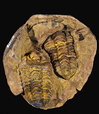 Trilobite (Flexicalymene sp) fossils of the Ordovician period 490 - 443 million years ago from Morroco  -  Albert Lleal