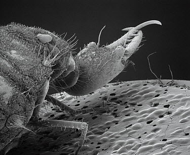 Antlion (Myrmeleontidae) SEM close-up view of larvae at 14x magnification  -  Albert Lleal