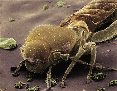 Common Bark Louse (Psocidae) SEM close-up view at 140x magnification  -  Albert Lleal