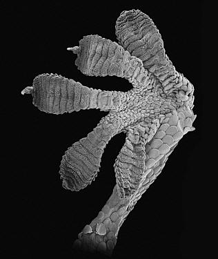 Moorish Wall Gecko (Tarentola mauritanica) SEM close-up of foot of at 16.5x magnification  -  Albert Lleal