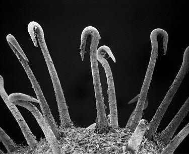 Spiny Cocklebur (Xanthium spinosum) SEM close-up of curved spines on the fruit which adhere to the pelage of animals or clothes of humans and thus assist in dispersal away from the parent plant  -  Albert Lleal