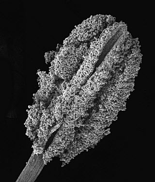 Colorado Blue Columbine (Aquilegia caerulea) SEM close-up view of pollen covered anther at 40x magnification  -  Albert Lleal