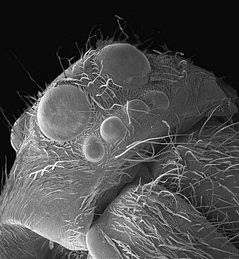 Wolf Spider (Lycosa tarantula) SEM close-up view of face at 21x magnification, showing six eyes  -  Albert Lleal