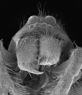 Wolf Spider (Lycosa tarantula) SEM close-up view of face at 14x magnification  -  Albert Lleal