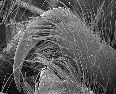 Wolf Spider (Lycosa tarantula) SEM close-up view of chelicerae at 42x magnification  -  Albert Lleal