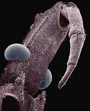 Assassin Bug (Reduviidae) SEM close-up view of head with mouth part used to suck fluid out of prey at 21x magnification  -  Albert Lleal