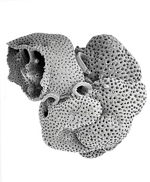 Foraminiferan (Globigerina sp) SEM close-up view at 21x magnification, that came from a beach in Formentera, Balearic Islands, Spain  -  Albert Lleal