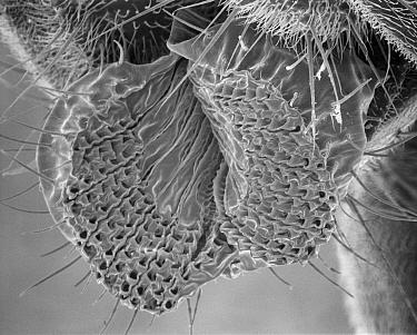 Fruit Fly (Drosophila melanogaster) SEM close-up view of proboscis at 105x magnification  -  Albert Lleal