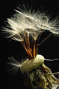 Dandelion (Taraxacum officinale) flower head with achenes  -  Albert Lleal