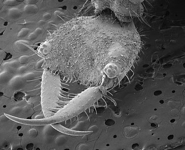 Antlion (Myrmeleontidae) SEM close-up view of larva at 21x magnification  -  Albert Lleal
