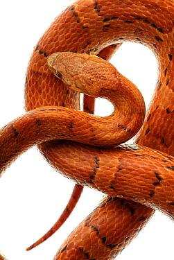 Cornsnake (Elaphe guttata), non-venomous  -  Albert Lleal