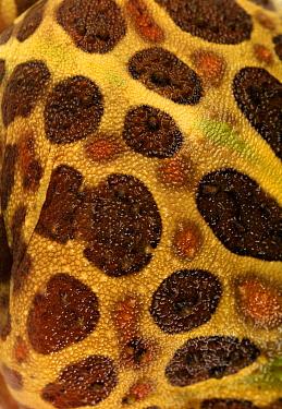 Ornate Horned Frog (Ceratophrys ornata) skin, Argentina  -  Albert Lleal