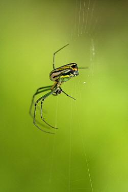 Orchard Spider (Leucauge sp) in web, Guatemala  -  Albert Lleal