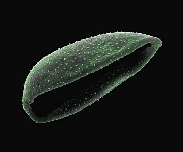 Gladiolus (Gladiolus sp) SEM close-up view of pollen at 800x magnification  -  Albert Lleal