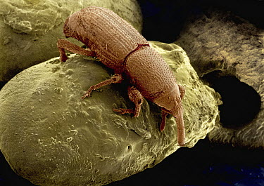 Rice Weevil (Sitophilus oryzae) SEM close-up view of weevil on rice grains at 14x magnification  -  Albert Lleal