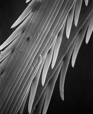 Strawflower (Helichrysum sp) SEM close-up view of achene detail at 1050x magnification  -  Albert Lleal