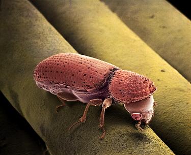 Beetle (Rhizopertha dominica) SEM close-up view on spaghetti at 21x magnification  -  Albert Lleal