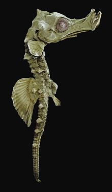 Short-snouted Seahorse (Hippocampus hippocampus), juvenile  -  Albert Lleal