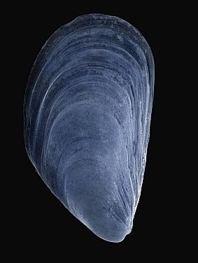 Mediterranean Mussel (Mytilus galloprovincialis) SEM close-up view at 10x magnification  -  Albert Lleal
