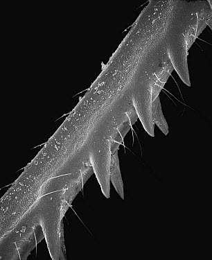 Grasshopper (Anacridium sp) SEM close-up view of leg showing spikes at 35x magnification  -  Albert Lleal