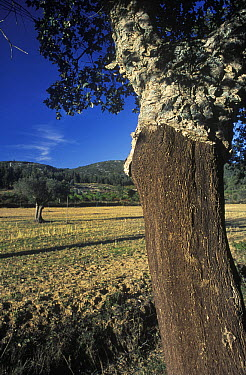 Cork Oak (Quercus suber) with its trunk stripped of bark, Portugal  -  Albert Lleal