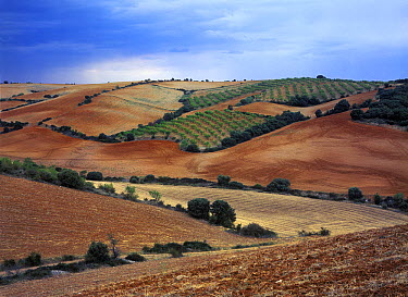 Hills and cultivated fields separated by windbreaks, Aguilon, Spain  -  Albert Lleal