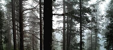 Spirke (Pinus uncinata) forest in fog near Barcelona, Spain  -  Albert Lleal