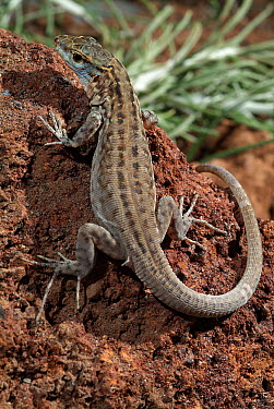 La Gomera Giant Lizard (Gallotia bravoana) juvenile, species only occurs on La Gomera Island, Canary Islands, Spain  -  Albert Lleal