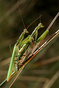 European Mantid (Mantis religiosa) pair mating, Europe  -  Albert Lleal