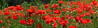 Red Poppy (Papaver rhoeas) field, Europe  -  Albert Lleal