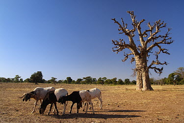 Baobab (Adansonia sp) tree and goats on overgrazed land, Burkina Faso, west Africa  -  Albert Lleal