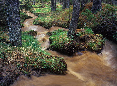 Spirke (Pinus uncinata) forest drained of sediments following heavy rains, Pyrenees, France  -  Albert Lleal