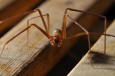 Brown Violin Spider (Loxosceles rufescens), worldwide distribution, Barcelona, Spain  -  Albert Lleal