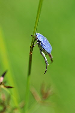 Scarab Beetle (Hoplia caerulea) male clinging to grass, Delta del Ebro Natural Park, Spain  -  Albert Lleal