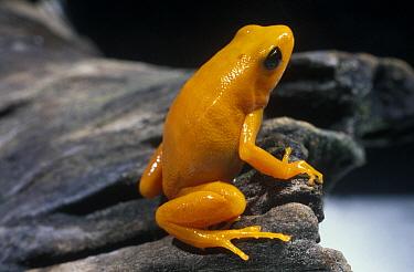 Golden Mantella (Mantella aurantiaca) frog, critically endangered species native to Madagascar  -  Albert Lleal