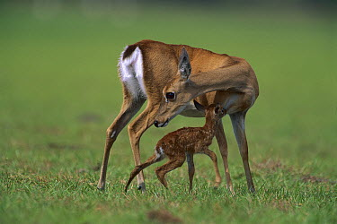 Pampas Deer (Ozotoceros bezoarticus) mother and young, Pantanal, Brazil  -  Theo Allofs