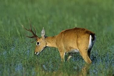 Pampas Deer (Ozotoceros bezoarticus) male foraging in swamp, Pantanal, Brazil  -  Theo Allofs