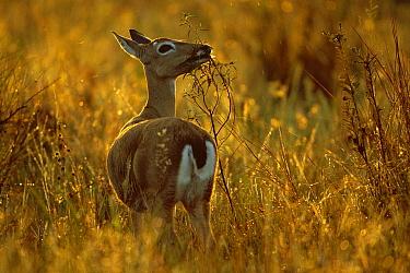 Pampas Deer (Ozotoceros bezoarticus) female eating flowers in grassland, southern Pantanal, Brazil  -  Theo Allofs