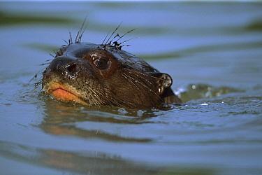 Giant River Otter (Pteronura brasiliensis) an endangered species, swimming, Pantanal, Brazil  -  Theo Allofs