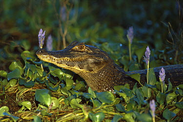 Jacare Caiman (Caiman yacare) surrounded by water hyacinths, Pantanal, Brazil  -  Theo Allofs