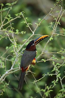 Chestnut-eared Aracari (Pteroglossus castanotis), Pantanal, Brazil  -  Theo Allofs