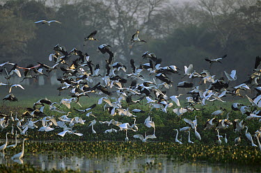 Wood Stork (Mycteria americana) and Great Egret (Ardea alba) flock taking flight, Pantanal, Brazil  -  Theo Allofs
