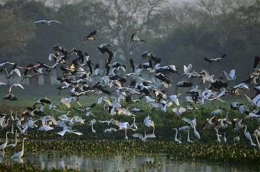 Wood Stork (Mycteria americana) and Great Egret (Ardea alba) flock taking flight, Pantanal, Brazil  -  Theo Allofs
