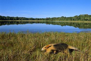 Southern Anteater (Tamandua tetradactyla) walking along shore of lake, Pantanal, Brazil  -  Theo Allofs