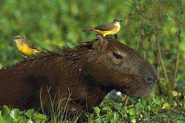Cattle Tyrant (Machetornis rixosa) birds on Capybara (Hydrochoerus hydrochaeris) in swamp, Pantanal, Brazil  -  Theo Allofs