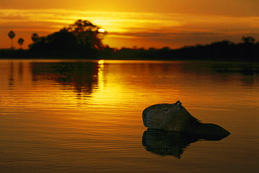 Capybara (Hydrochoerus hydrochaeris) in river at sunrise, Pantanal, Brazil  -  Theo Allofs